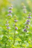 Fresh mint flowers in garden — Stock Photo