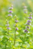 Fresh mint flowers in garden — Stock Photo