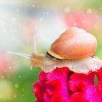 Snail on flower in garden — Stock Photo #50249115
