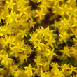 Sedum acre flower — Stock Photo