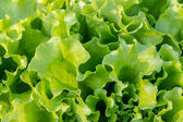Growing lettuce — Stock Photo