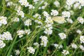 Pieris brassicae butterfly — Stock Photo