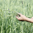 Wheat ears woman hands — Foto de Stock