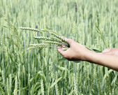 Wheat ears woman hands — Stock Photo