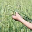 Wheat ears woman hand — Stock Photo