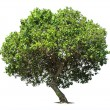 Big green oak tree — Stock Photo