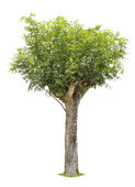 Single young tree with green leaves — Stock Photo