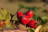 Rose-hips — Stock Photo
