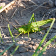 Green grasshopper — Stock Photo #24707815
