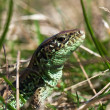 Lizard in the grass — Stock Photo