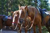 Braune pferde in einem wald — Stockfoto