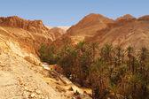 Palm trees of the Chebika oasis in Tunisia — Stock Photo