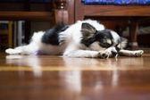 Sleeping long hair chihuahua on wooden floor — Stock Photo