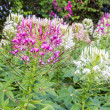 Cleome Spinosa. — Stock Photo