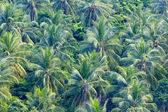 Close up of green coconut tree leaves — Stock Photo