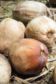 Mature coconuts — Stock Photo