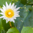 Stock Photo: Close-up WHITE LOTUS