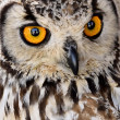 Brown and white owl — Stock Photo #19143053