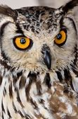 Brown and white owl — Stock Photo