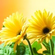 Stock Photo: Yellow gerberflowers