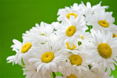 Daisies on green — Stock Photo