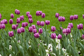 Purple tulips — Stock fotografie
