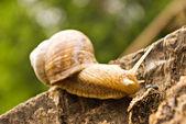 Snail — Stock Photo