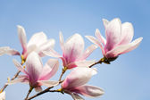 Magnolia flowers on sky — Stock Photo