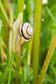 Snail climbing down — Stock Photo