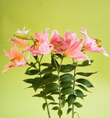 Beautiful pink lily flowers — Stock Photo