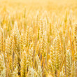 Grain — Stock Photo