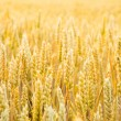 Grain — Stock Photo #18236339