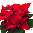 Poinsettias Christmas flower isolated — Stock Photo