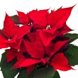 Poinsettias Christmas flower isolated - Stock Photo