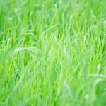 Green grass — Stock Photo #23155770