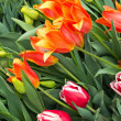 Vivid tulips — Stock Photo