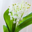 lily of the valey flowers — Stock Photo