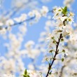 Spring blossoms — Foto Stock
