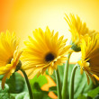 yellow gerberas — Stock Photo