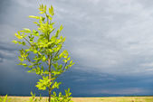 Young tree before storm — Foto Stock