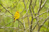 Yellow warbler — Stock Photo