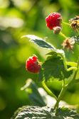 Organic raspberries — Stock Photo