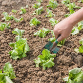 Working with young lettuce sapling — Stock Photo