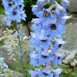 Stock Photo: Delphinium