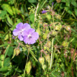 Geranium pratense — Stock Photo #12199059