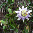 Stock Photo: Passionflower