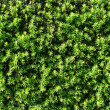 Trim hedge — Stock Photo