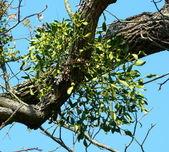 Mistletoe — Stock Photo
