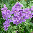 Cranesbill — Stock Photo #27146485