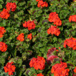 pelargonium — Stock Photo